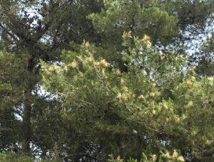 Blagosfago del pino domestico e del ino D'Aleppo